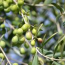 Olive harvesting increasing but still below average