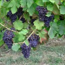 Vendemmia 2015, European and World Grape Harvesting data