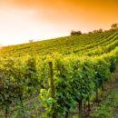 Alarma por sequía: las viñas aún se mantienen sanas; pero, ¿cuánto podrán resistir?